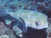 Black-spotted Porcupinefish, Diodon hystrix