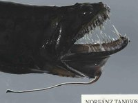 Black Dragonfish, Idiacanthus atlanticus
