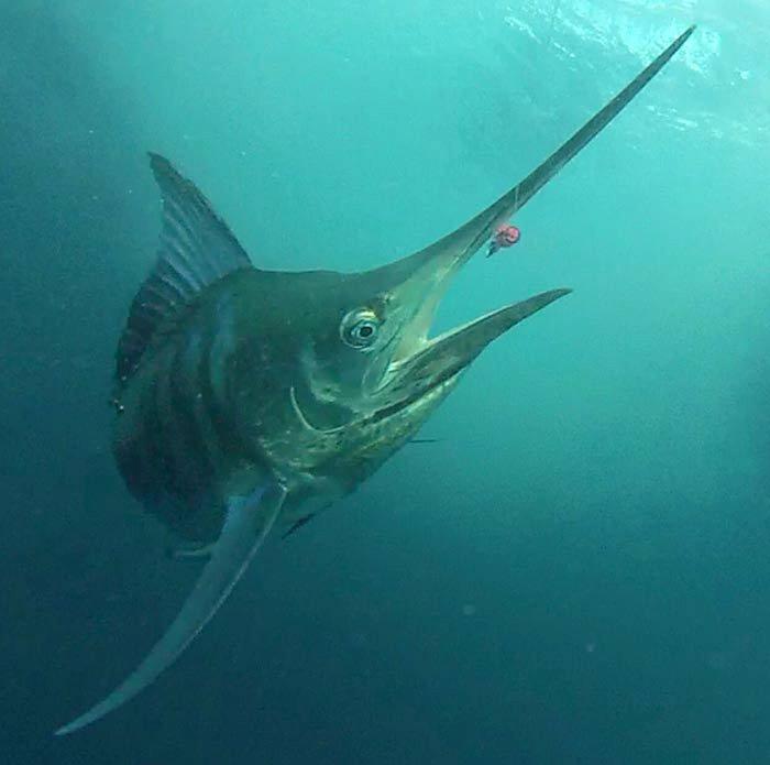 Black Marlin, Istiompax indica