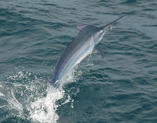 Black Marlin, Makaira indica