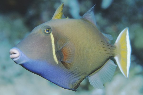 Black Triggerfish, Sufflamen chrysopterum
