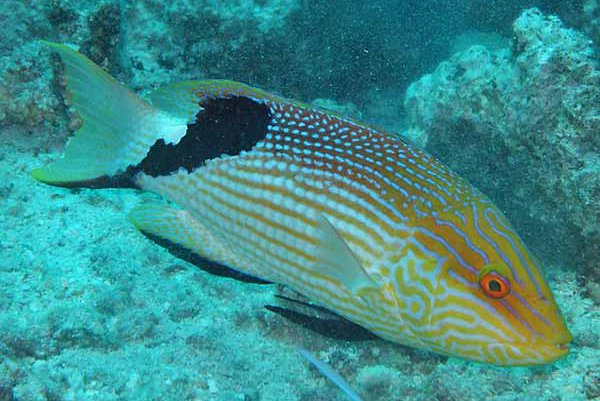 Blackfin Pigfish, Bodianus loxozonus