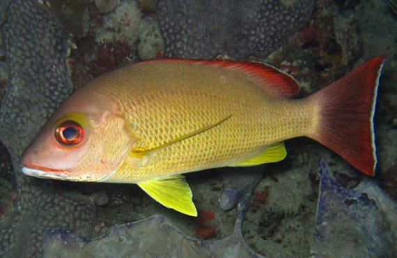 Blacktail Snapper, Lutjanus fulvus