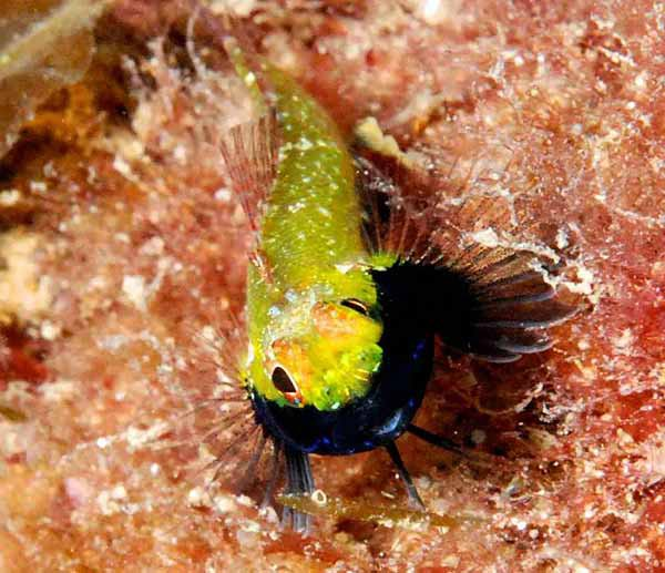 Blackthroat Threefin, Helcogramma decurrens