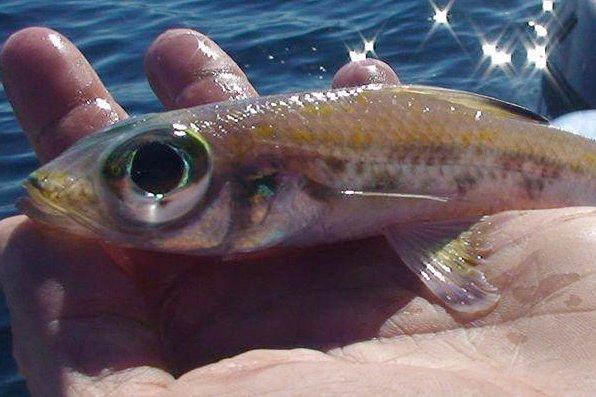 Blacktip Cucumberfish, Paraulopus nigripinnis