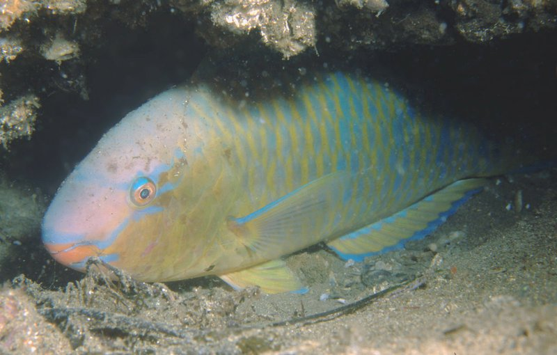 Blue-barred Parrotfish, Scarus ghobban