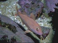Blue-lined Goatfish, Upeneichthys lineatus
