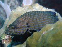Blue-lined Rockcod, Cephalopholis formosa