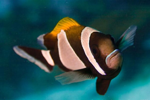 Blue-lip Anemonefish, Amphiprion latezonatus