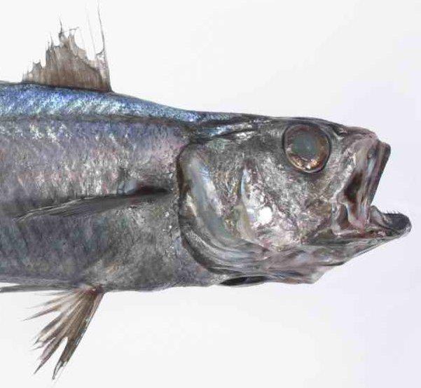 Blue Grenadier, Macruronus novaezelandiae