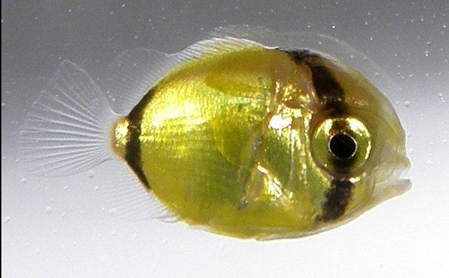 Bluespot Butterflyfish, Chaetodon plebeius