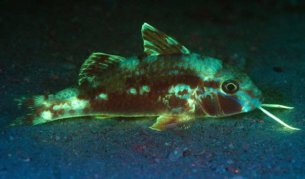 Bluestriped Goatfish, Upeneichthys lineatus