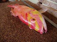 Masked Pigfish, <i>Bodianus flavifrons</i>
