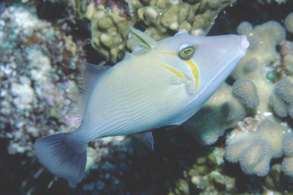 Boomerang Triggerfish, <i>Sufflamen bursa </i>