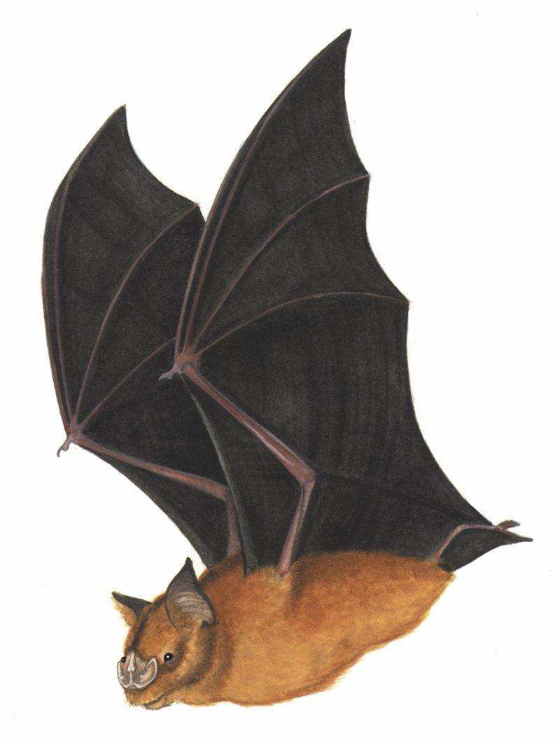 Brachipposideros nooraleebus