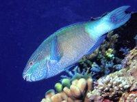 Bridled Parrotfish, <i>Scarus frenatus</i>