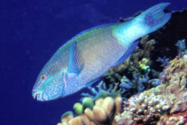 Bridled Parrotfish, <i>Scarus frenatus</i>