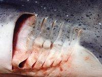 Broadnose Shark, Notorynchus cepedianus - gill slits