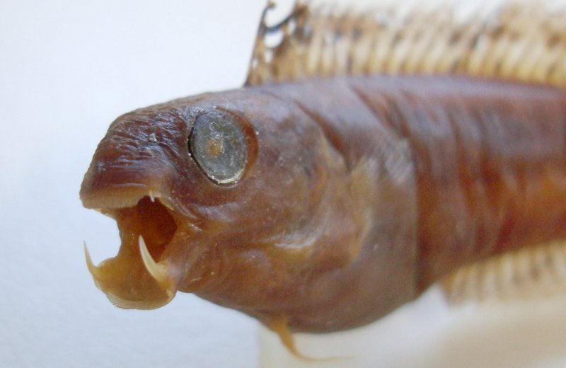 Brown Sabretooth Blenny, Petroscirtes lupus