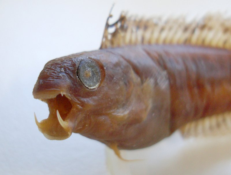 Brown Sabretooth Blenny, Petroscirtes lupus