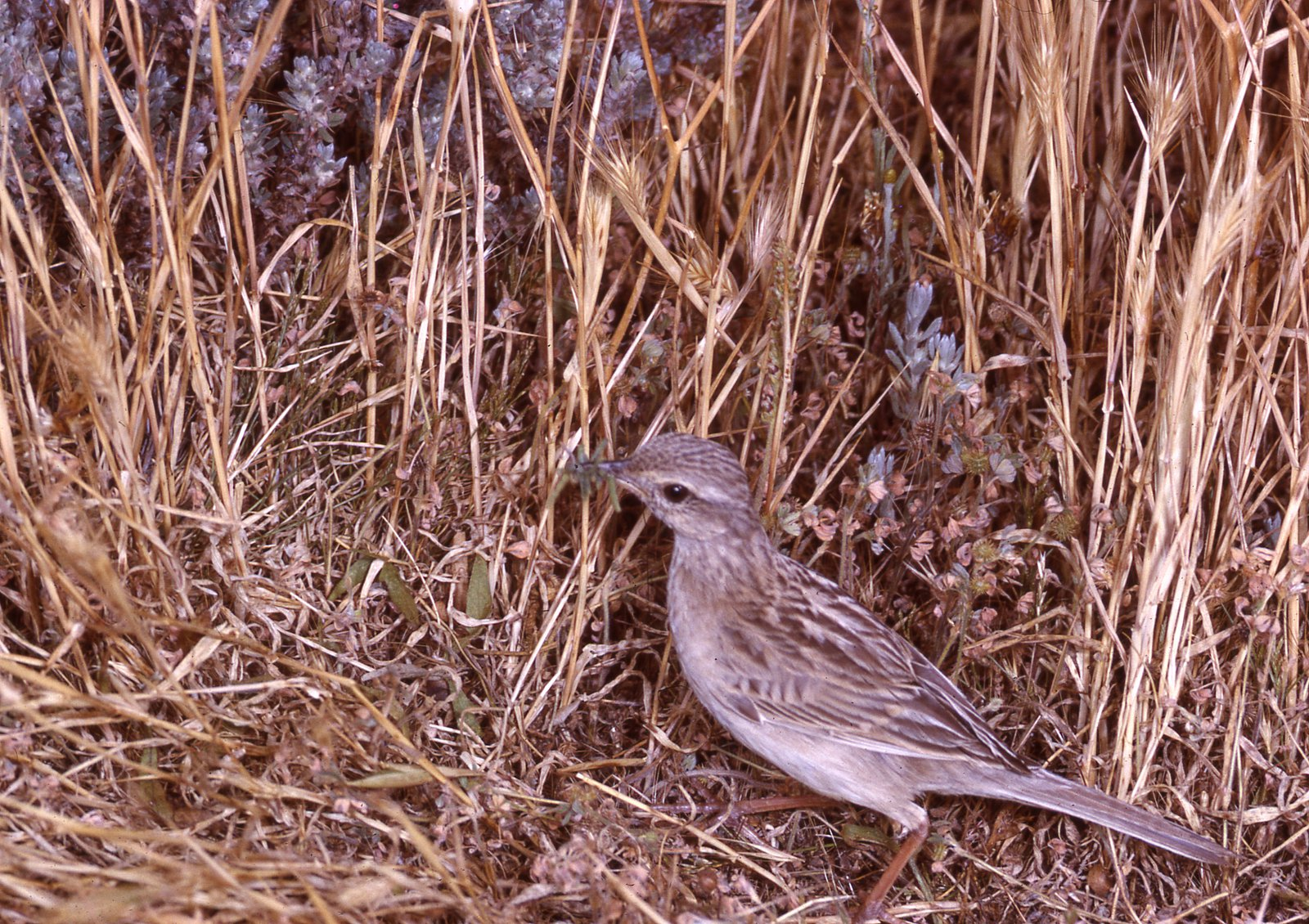 Brown Songlark, Cincloramphus cruralis