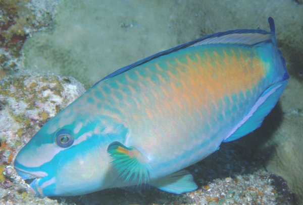 Bullethead Parrotfish, Chlorurus sordidus