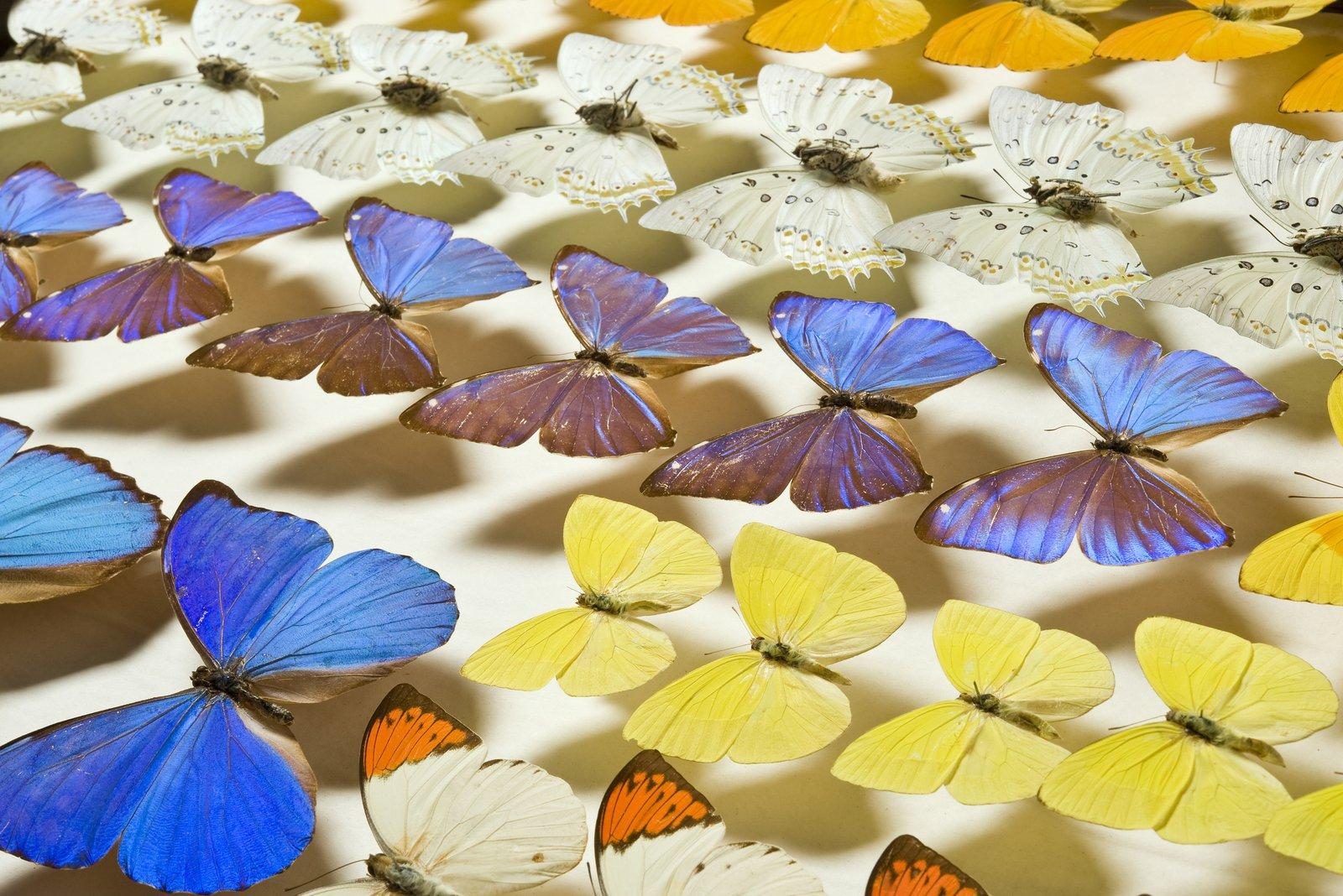 Morpho & Pieridae Butterflies