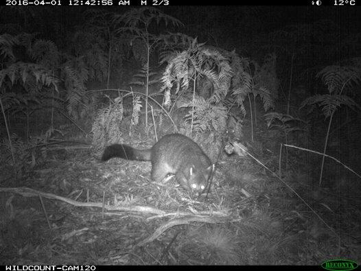 Camera trap Brushtailed possum