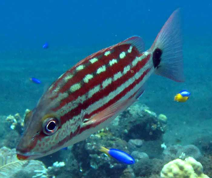 Checkered Snapper, Lutjanus decussatus