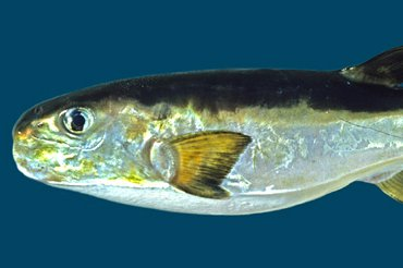 Cheeseman's Puffer, Lagocephalus cheesemanii