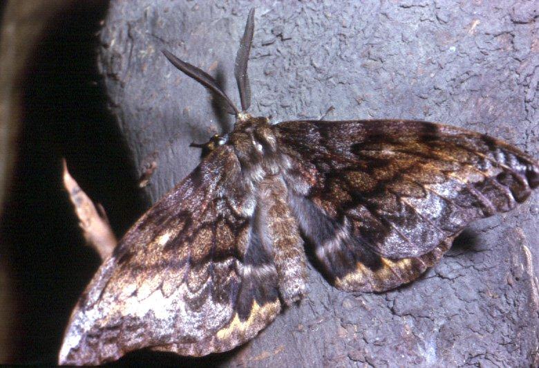 Chelepteryx collesi