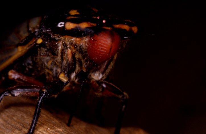 Cherrynose Cicada, Macrotristria angularis
