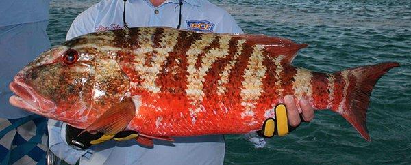 Chinamanfish, Symphorus nematophorus