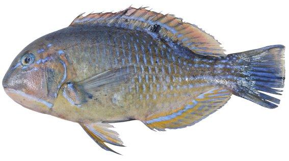 Blackspot Tuskfish, Choerodon schoenleinii