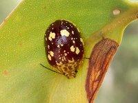 Chrysomelidae-Paropsinae