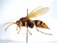 Cicada-killer wasp, genus Exeirus