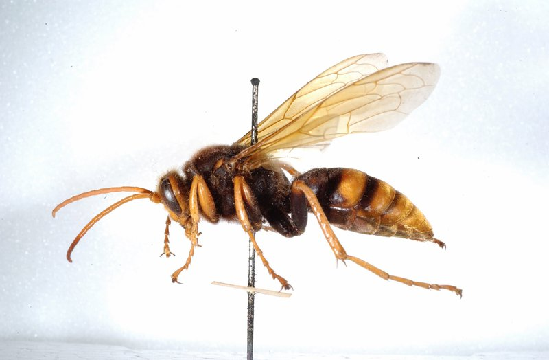 Cicada-killer wasp, genus Exeirus