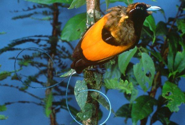 Cicinnurus magnifucus