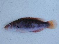 Cirrhilabrus punctatus I.41846-016