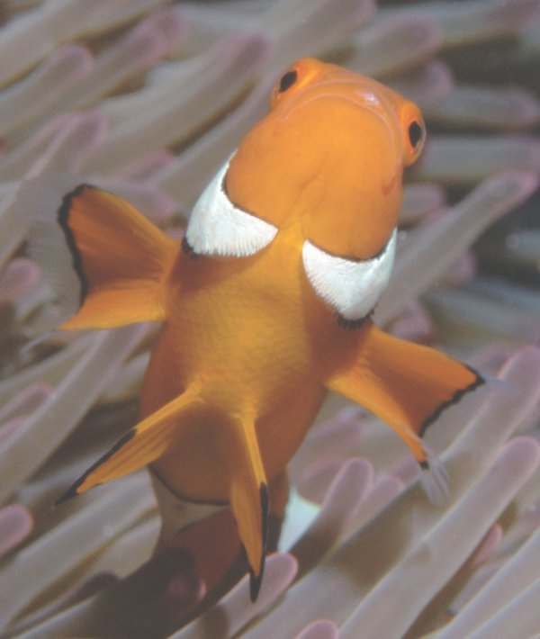 Clown Anemonefish, Amphiprion percula