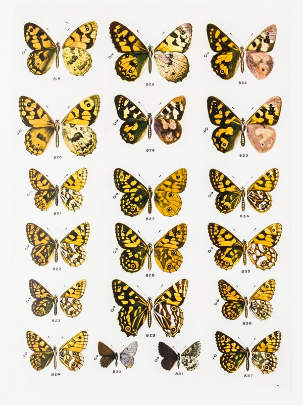 Colour Plates from The Butterflies of Australia