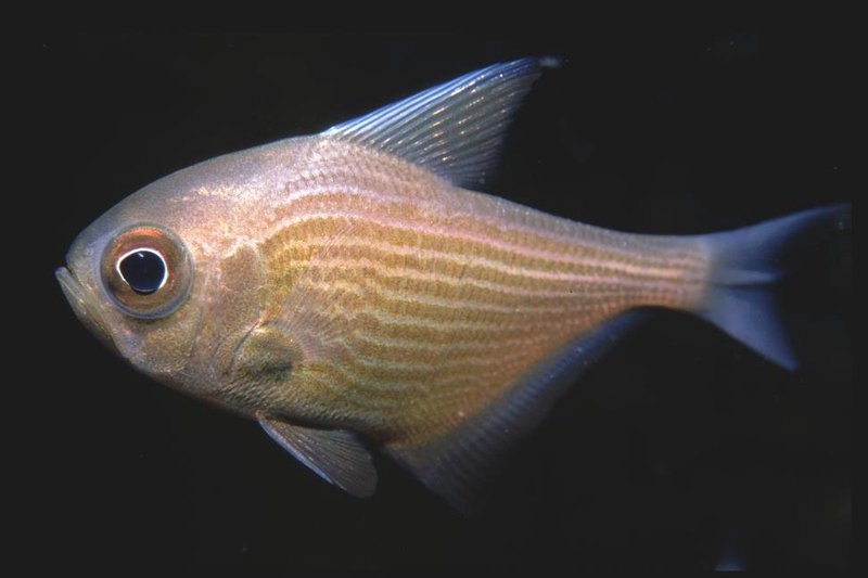 Common Bullseye, Pempheris multiradiata