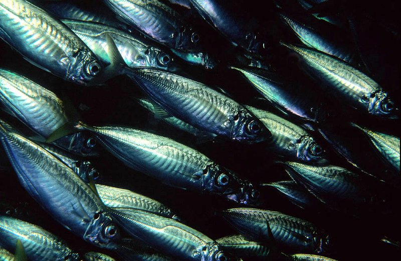 Common Jack Mackerel, Trachurus declivis