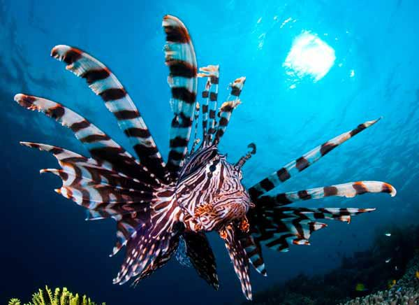 Common Lionfish, Pterois volitans