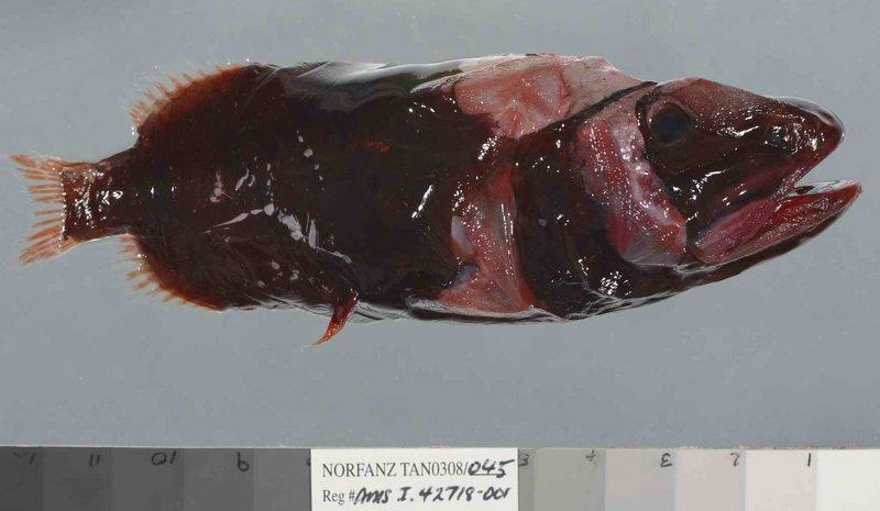 Common Redmouth Whalefish, Rondeletia loricata