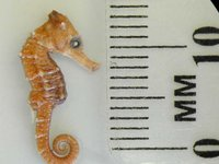 Common Seahorse, Hippocampus taeniopterus