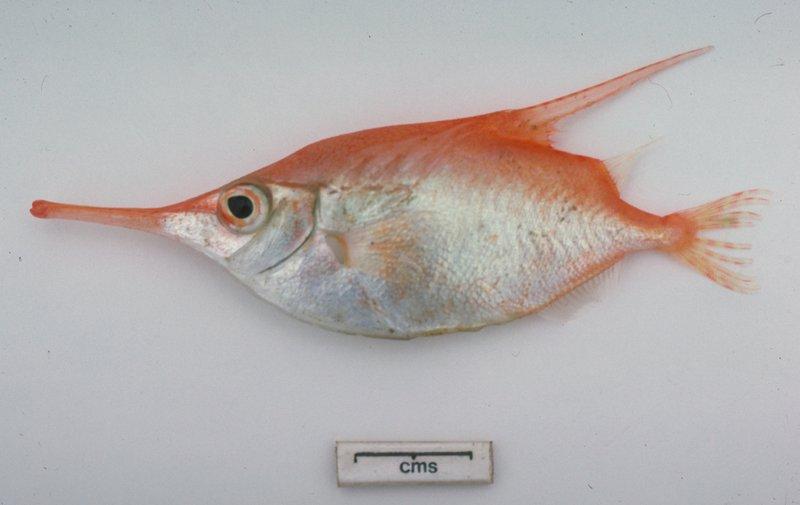 Common Snipefish, Macroramphosus scolopax