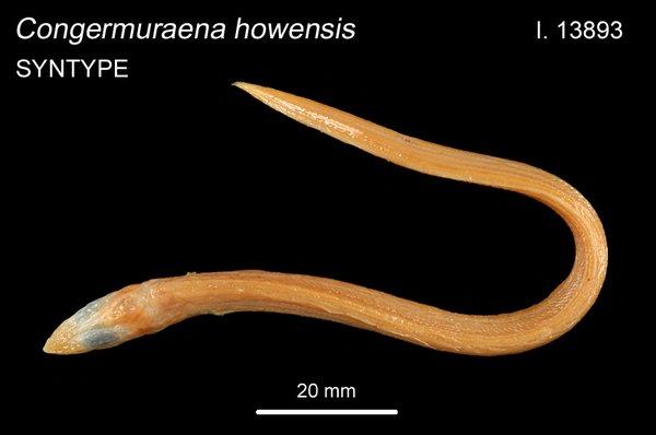 Congermuraena howensis I.13893