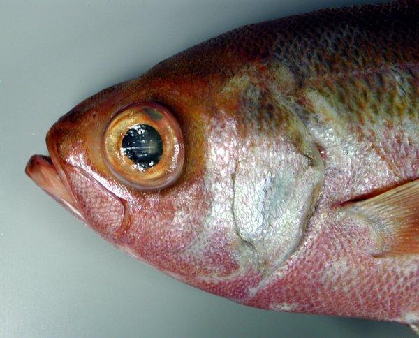 Cosmopolitan Rubyfish, Plagiogeneion rubiginosus - head