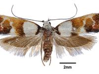 Crepidosceles glycydora (Turner, 1917).